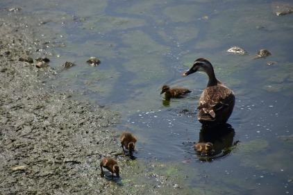 duck-2794643_1280